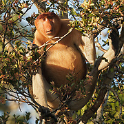 Proboscis monkey (Nasalis larvatus) large male, feeding in the trees along the Sekonyer river, Tanjung Puting National Park. Borneo