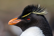 Portrait of the southern rockhopper penguin (Eudyptes chrysocome) from Sounders Island, the Falkland Islands