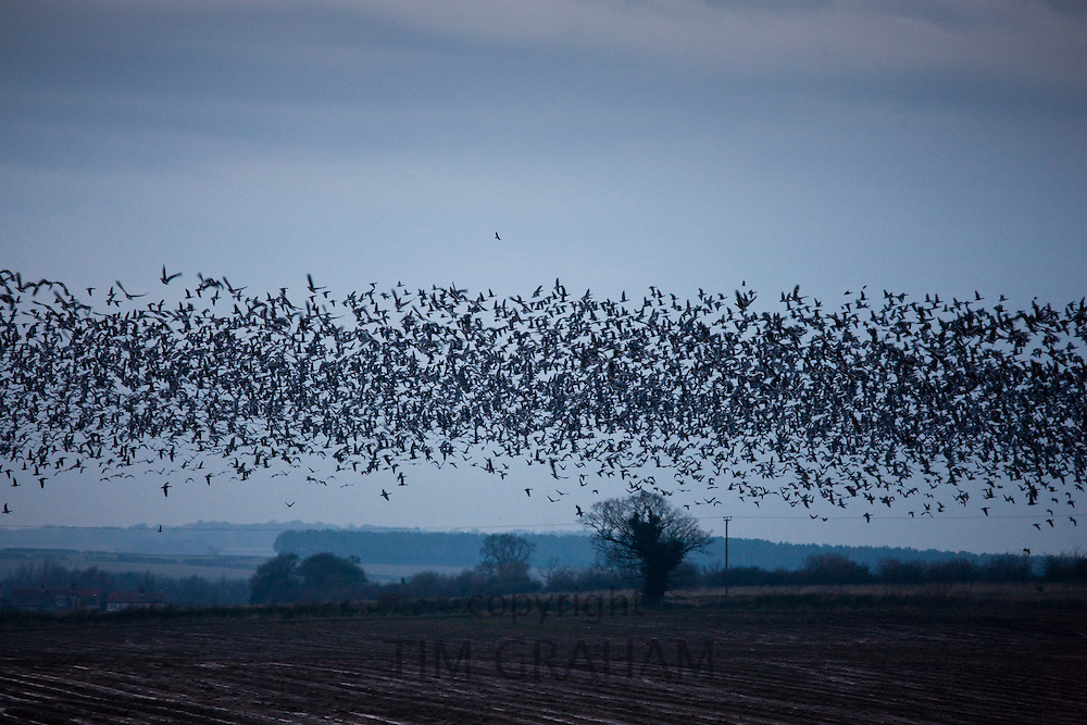 Pink-footed geese in the sky at sunset over Holkham saltmarshes, North Norfolk, UK