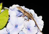 Slender Anole, Anolis limifrons (Norops limifrons), on a flowering shrub at Monteverde, Costa Rica