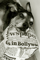 It appears my dog is a news hound.... although I cant say the I am entirely convinced by the angle he has chose to cover that story.<br /> <br /> 17th June 2020<br /> <br /> www.pauldaviddrabble.co.uk<br /> All Images Copyright Paul David Drabble - <br /> All rights Reserved - <br /> Moral Rights Asserted -