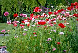 Poppies - Papaver rhoeas 'Mother of Pearl' syn. 'Fairy Wings' growing in Helen Yemm's garden, Ketley's, East Sussex