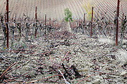 pruned grapevine field in South France