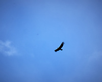 Andean Condor soaring. Image taken with a Fuji X-T1 camera and 55-200 mm lens (ISO 200, 200 mm, f/22, 1/125 sec).