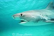 tiger shark, Galeocerdo cuvier, Bimini, Bahamas ( Western Atlantic Ocean )