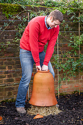Covering rhubarb with a terracotta forcer