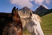 Pack horses. The Snowman Trek, Bhutan.