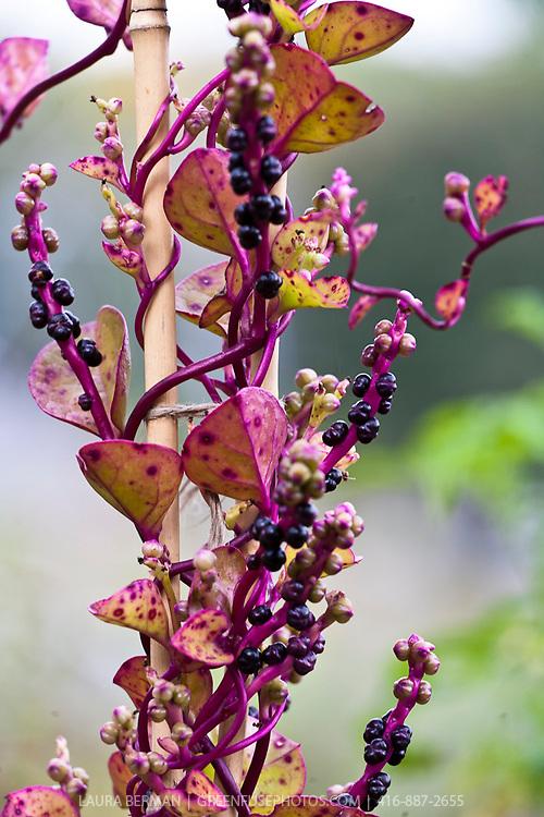 Red Malabar spinach seeds (Basella rubra)