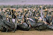 Peruvian Pelican<br />Pelecanus thagus<br />Islas Lobos de Tierra. off PERU .   South America<br />RANGE:  Pacific Coast S. Ecuador to S. Chile