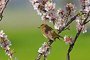Palm warbler (Setophaga palmarum) in Nanking cherry<br />Winnipeg<br />Manitoba<br />Canada