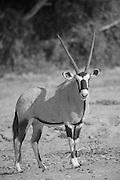 Gemsbok, Antelope, The Kaokoveld Desert, Kaokoland, Northern Namibia, Southern Africa
