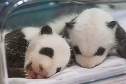 07.10.2010, Zoo Aquarium, Madrid, ESP, Panda Bears Twins, im Bild The two little Panda bears borned at Madrid Zoo aquarium can be watched from today. The cubs, whose genders are not yet known, were conceived through artificial insemination after mother Hua Zui Ba and father Bing Xing failed to procreate on their own. They are the first giant panda twins to be conceived using the method outside of China. EXPA Pictures © 2010, PhotoCredit: EXPA/ Alterphotos/ Cesar Cebolla +++++ ATTENTION - OUT OF SPAIN / ESP +++++