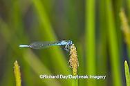 06101-001.11 Azure Bluet (Enallagma aspersum) male in wetland, Marion Co.  IL