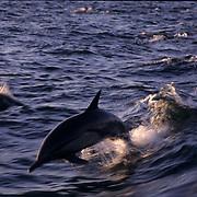Common Dolphin, (Delphinus delphis) Jumping. Sea of Cortez. Baja, Mexico.
