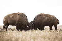 Two Bison battle for dominance in Yellowstone National Park, Wyoming.