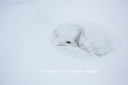 01863-01704 Arctic Fox (Alopex lagopus) in winter, Churchill Wildlife Management Area, Churchill, MB