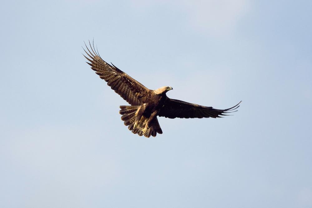 Kaiseradler im Flug, Aquila heliaca, Ost-Slowakei / Eastern Imperial Eagle in flight, Aquila heliaca, East Slovakia