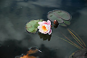 blossoming pink Sacred Lotus flower (Nelumbo nucifera)