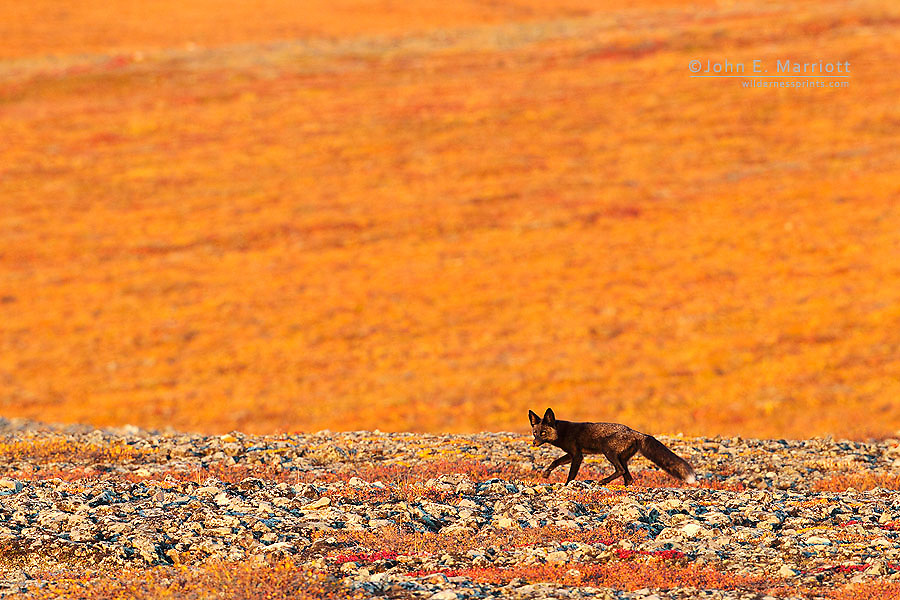 Golden sunset light on a black phase red fox walking through fall colours on the arctic tundra near the Yukon - Northwest Territories border along the Dempster Highway in northern Canada, north of the Arctic Circle.