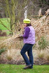 Cutting back ornamental grasses (miscanthus) in early spring. Carrying away