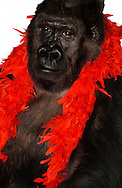 Deutschland, DEU, Krefeld, 2004: Projekt ueber die biologischen Wurzeln der Mode. Die Shootings hierfuer wurden mit Grossen Menschenaffen, die dem Menschen am naechsten sind, im Krefelder Zoo gemacht. Die Tiere waren weder zahm noch trainiert. Die Kleidungsstuecke wurden in die Gehege geworfen und was immer die Tiere damit anstellten, taten sie aus sich selbst heraus. Ein Eingreifen oder gar eine Regie war unmoeglich. Da das Verhalten der Affen im Mittelpunkt stand, wurden die Hintergruende von den Originalfotografien entfernt. Gorilla-Weibchen Boma mit einer Federboa aus dem Kostuem Haus in Freiburg um ihren Hals. | Germany, DEU, Krefeld, 2004: Project to look at the basics and roots of fashion. The shootings took place in the Zoo Krefeld with three species of Great Apes who are the nearest to us. The animals were neither tamed nor trained. Whatever the animals did, they did on their own. Any intervention or directing was impossible. To set the focus on the behaviour of the animals itself we removed the background from the original photographs. Gorilla (Gorilla gorilla) female Boma with a feather boa, seen at  Kostuem Haus in Freiburg, Germany, around her neck. |
