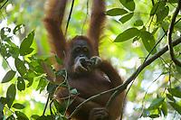Bornean Orangutan <br />Wurmbii Sub-species<br />(Pongo pygmaeus wurmbii)<br /><br />Adult female Walimah tending her severely injured foot.<br /><br />Gunung Palung Orangutan Project<br />Cabang Panti Research Station<br />Gunung Palung National Park<br />West Kalimantan Province<br />Island of Borneo<br />Indonesia