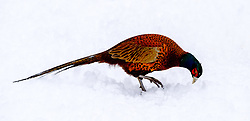One of Scotland's most colourful native birds, the male pheasant (Phasianus colchicus) struggles to find food in the deep snow, in South Lanarkshire.<br /> <br /> (c) Andrew Wilson | Edinburgh Elite media