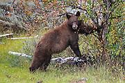 Cinnamon Phase Black Bear Cinnamon phase black bear in habitat