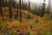 Fall colors are coming to the fire burn area on the slopes of Round Top Mountain in the Salmo-Priest Wilderness.