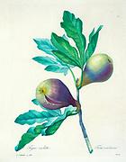 19th-century hand painted Engraving illustration of Figs on a branch, by Pierre-Joseph Redoute. Published in Choix Des Plus Belles Fleurs, Paris (1827). by Redouté, Pierre Joseph, 1759-1840.; Chapuis, Jean Baptiste.; Ernest Panckoucke.; Langois, Dr.; Bessin, R.; Victor, fl. ca. 1820-1850.