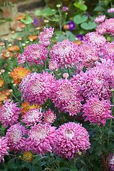 Chrysanthemum 'Promise'