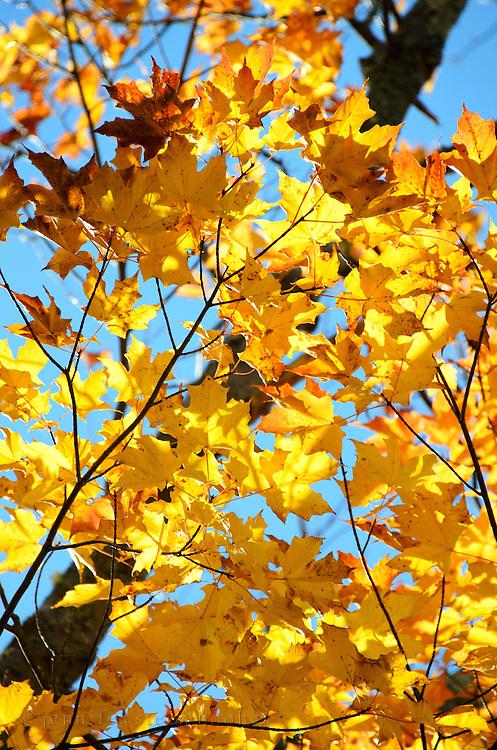 Bright golden fall foliage of a Sugar Maple (Acer saccharum), Bar Harbor, Maine.