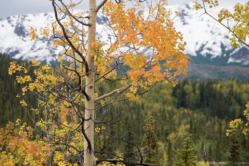 Quaking aspen (Populus tremuloides), fall, Denali National Park, Alaska