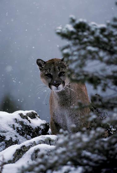 Mountain Lion or Cougar, (Felis concolor) Portrait of cougar peering through pine on rocky ledge. Light snowfall. Montana. Captive Animal.