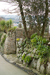 Aeoniums growing in stone walls in the temperate climate of the Isles of Scilly