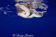 green sea turtle (juvenile), Chelonia mydas ( endangered species ), Grand Cayman, Cayman Islands, British West Indes ( Caribbean Sea )