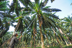 A man harvest palm fruits, on August 5, 2019 near Sandakan city, State of Sabah, North of Borneo Island, Malaysia. Palm oil plantations are cutting down primary and secondary forests vital as habitat for wildlife including the critically endangered Bornean and Sumatran orangutans. Photo by Emy/ABACAPRESS.COM