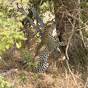 Leopard checking out scent on tree. Londolozi Private Game Reserve. South Africa.