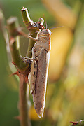View of an Egyptian grasshopper on a rose in an urban garden on the Costa Blanca in Spain.