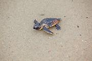Loggerhead Sea Turtle Hatchling on Beach Crawling Toward Ocean