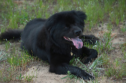 Black Chow mix dog resting in grass