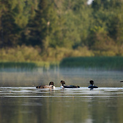A small flock of common loons, also known as great northern divers (Gavia immer). Minnesota