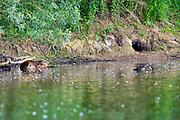 Nederland, Kekerdom, 3-6-2017 Een bever bij de ingang van zijn burcht. Beversafari met kano in de Millingerwaard. Staatsbosbeheer maakt tochten per kano zodat belangstellenden de natuur in de Millengerwaard echt kunnen beleven. Doel is om bevers te spotten Om het water dat via Lobith binnenkomt goed te verdelen over het Pannerdensch Kanaal en de Waal én om de waterstand te laten dalen in tijden van hoog water, is de Millingerwaard verruimd voor een betere waterveiligheid. Er is een geulenpatroon gegraven bestaande uit kwelgeulen en een grote stroombaangeul. Ruimte voor de rivier de Waal. De bever is een van de nederlandse big five, grote vijf . Foto: ANP/ Hollandse Hoogte/ Flip Franssen