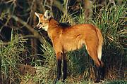 Maned Wolf<br />Chrysocyon brachyurus<br />Cerrado.  BRAZIL.   South America<br />Savannahs of Southern South America<br />NEAR THREATENED