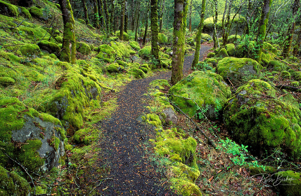 Trail through moss covered forest along the Columbia River, Fort Cascade National Historic Site, Washington USA