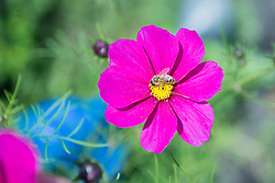 Cosmos flower close-up pink honey bee