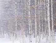 Expressive Winter Aspen Grove, Washington State