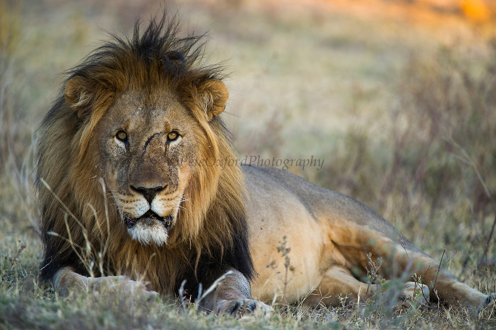 Lion (Panthera leo)<br /> Marakele Private Reserve, Waterberg Biosphere Reserve<br /> Limpopo Province<br /> SOUTH AFRICA