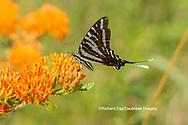 03006-00617 Zebra Swallowtail (Protographium marcellus) on Butterfly Milkweed (Asclepias tuberosa) Marion Co. IL
