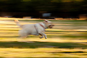 USA, Oregon, Keizer, Labrador Retriever at dog park